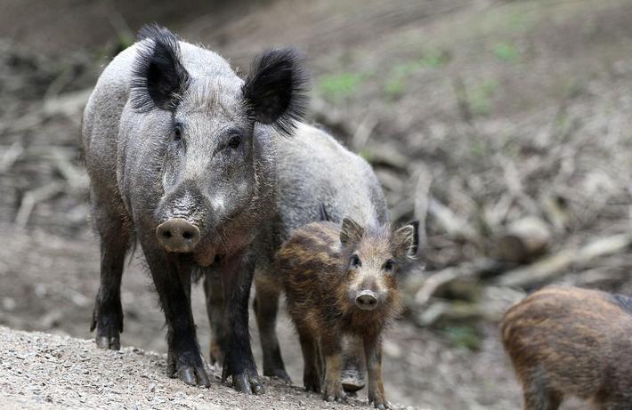 Wildschweine_ASP